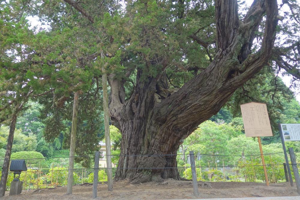 とにかく太い樹木画像