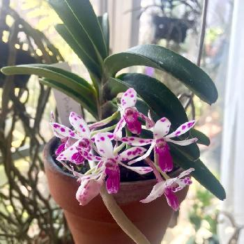 Vandachostylis Pinky New Ster,Van. Pinky 'New Star',Neost. Pinky New Ster,ネオスティリス ピンキー 'ニュースター',バンダコスティリス ピンキー ニュー スターの画像