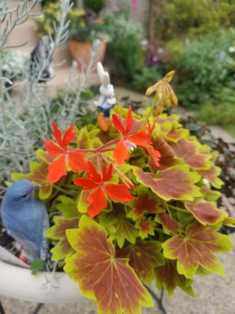 ゼラニウム 葉っぱ 変色