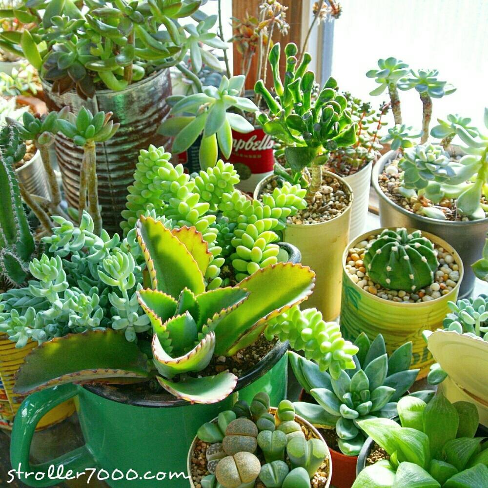 インテリアグリーンの投稿画像strollerさん|多肉植物とオフィス緑化