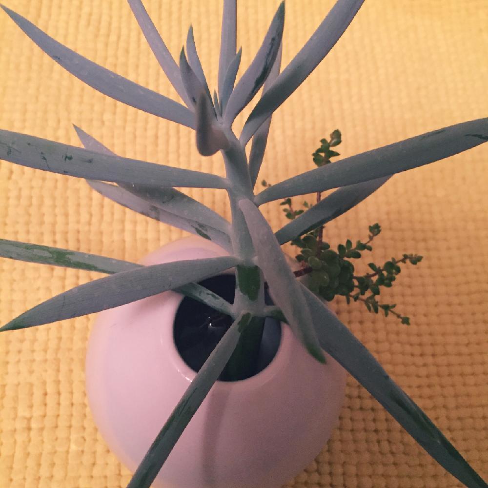 青涼刀の投稿画像 By Gekkoさん多肉植物と発根待ちとチョンパと今日の
