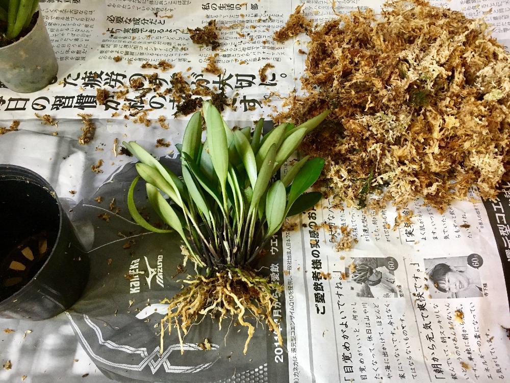 Masdevallia strobeliiの投稿画像 by むとーさん 洋蘭とラン科と洋蘭 ...