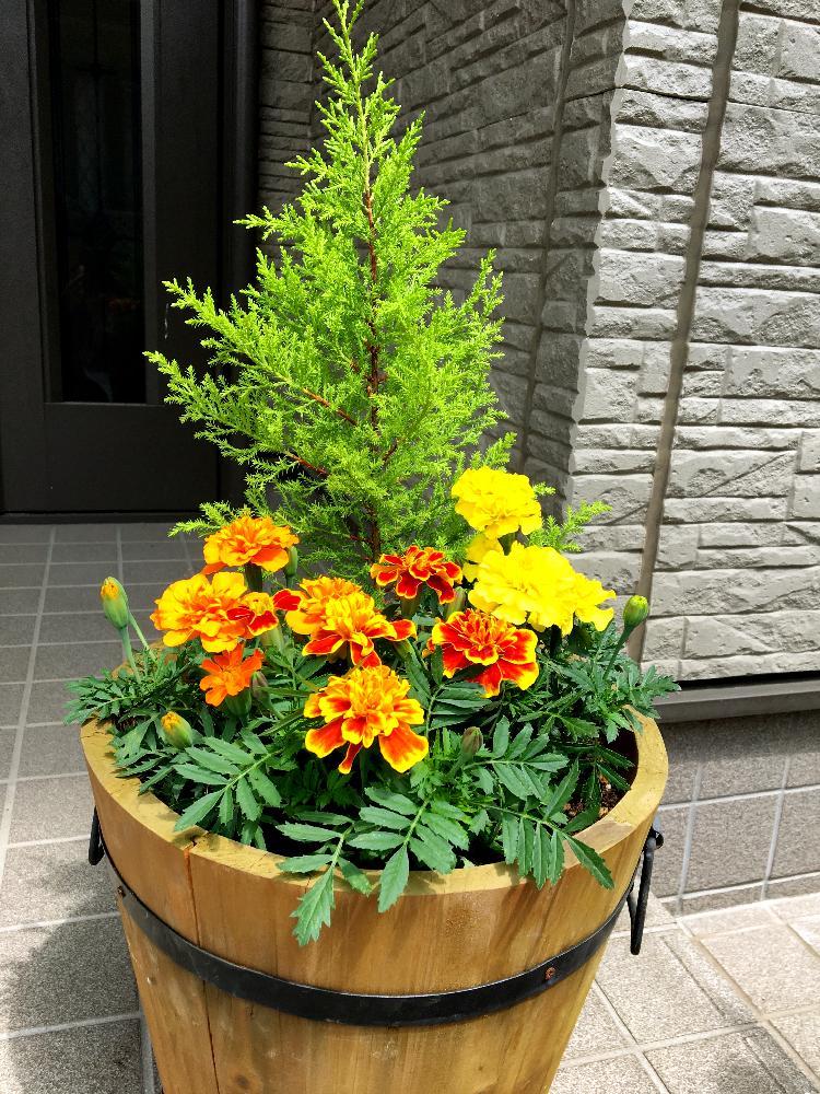 kunkunさんの玄関,寄せ植え,ゴールドクレスト☆の投稿画像