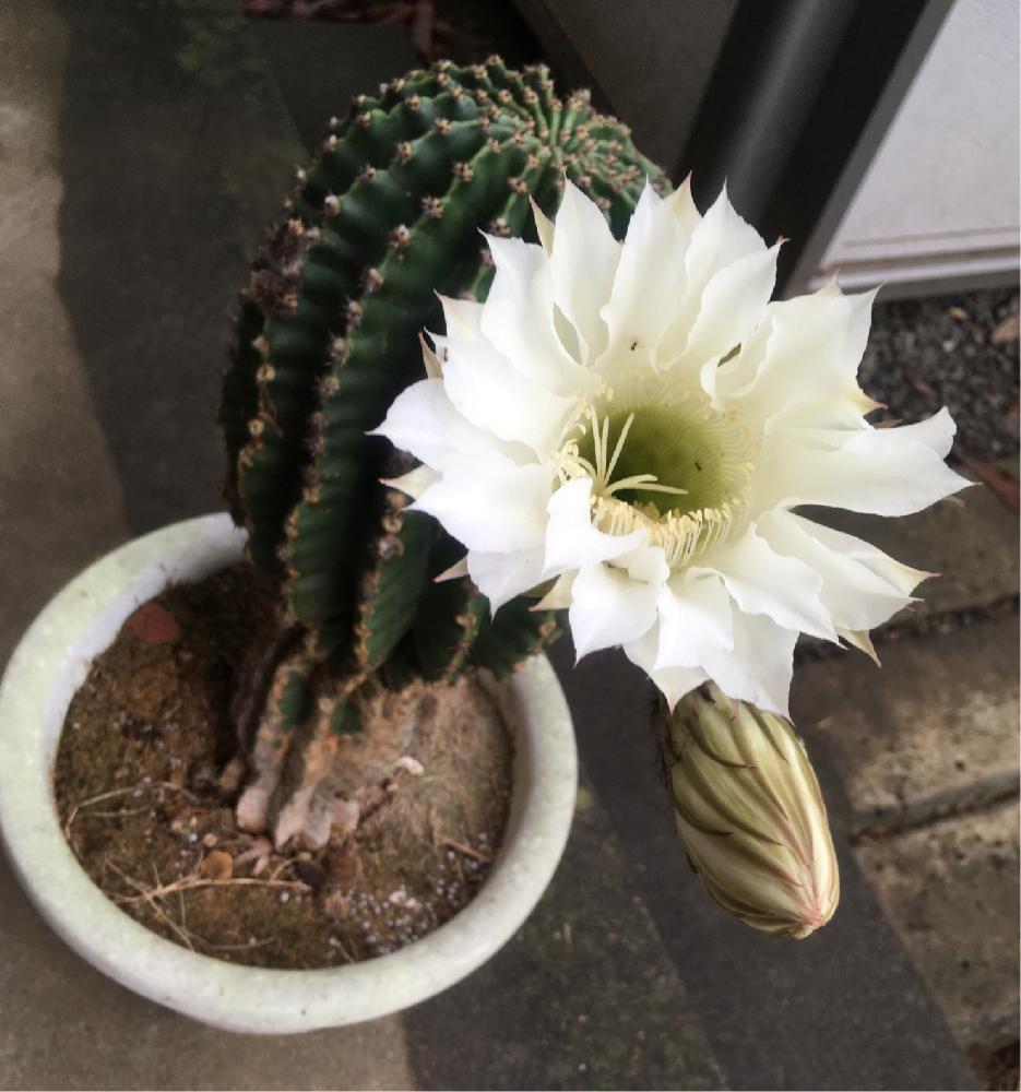 Nicoleさんの小さな庭,月下美人,サボテンの花の投稿画像