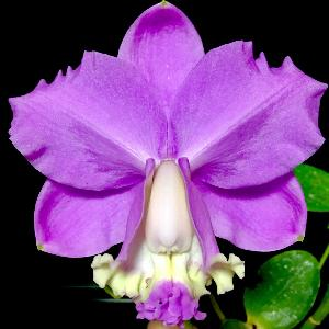 crown orchid
