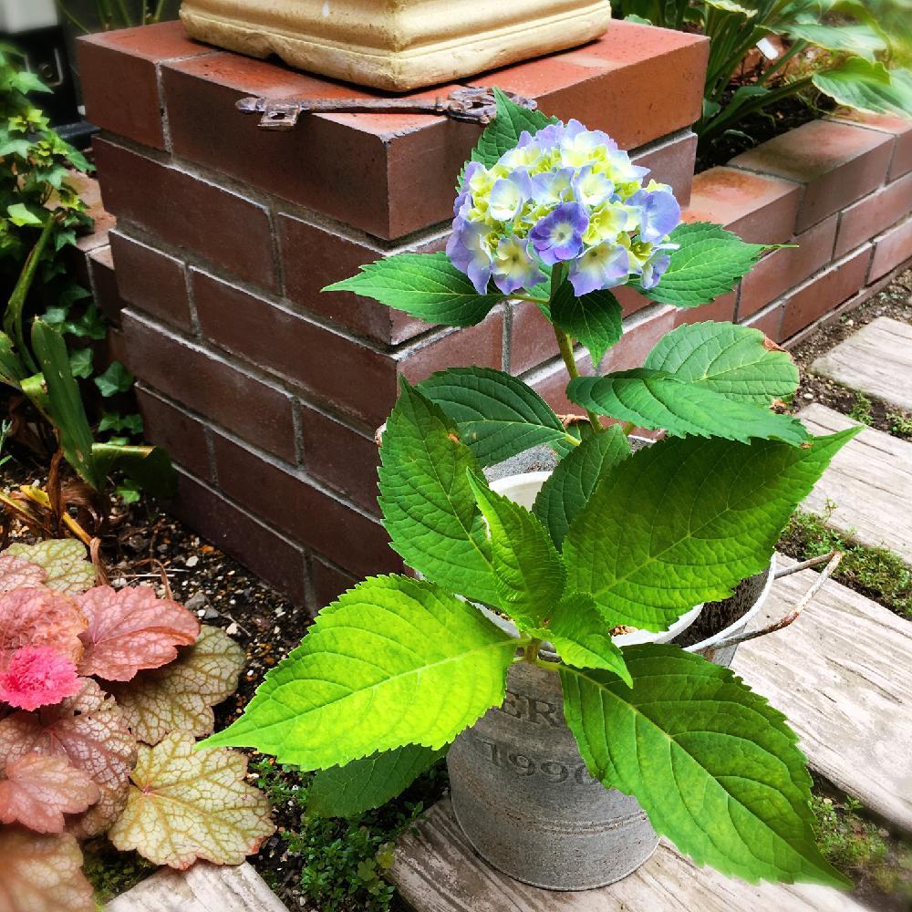 教え ください て の 紫陽花 の 挿し木 を 仕方