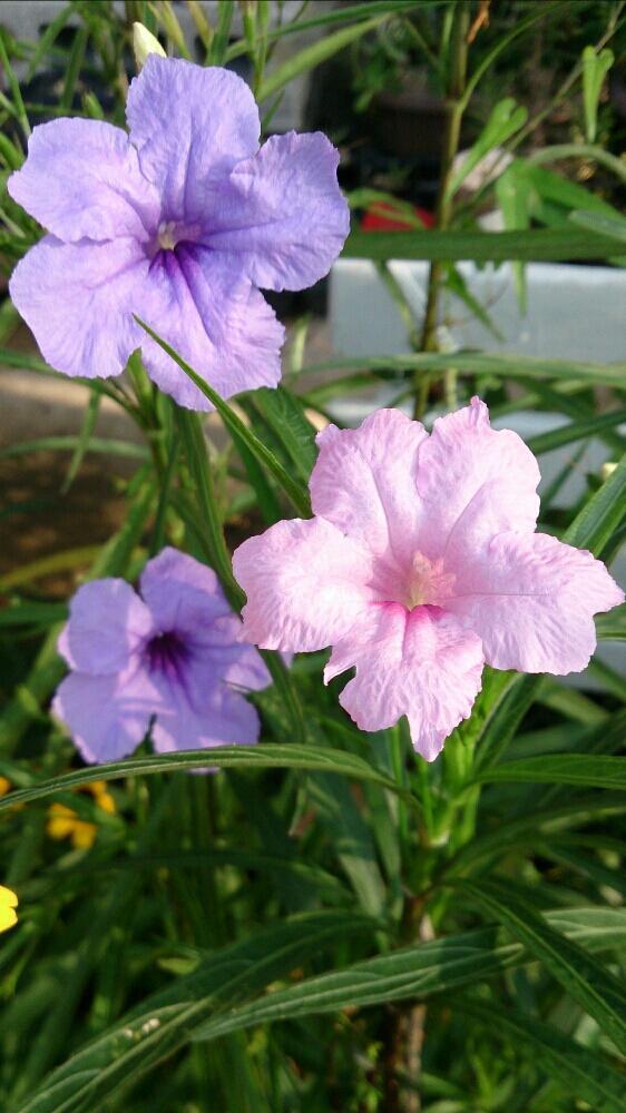 miccoさんの小さな庭,紫色の花,夏の花の投稿画像