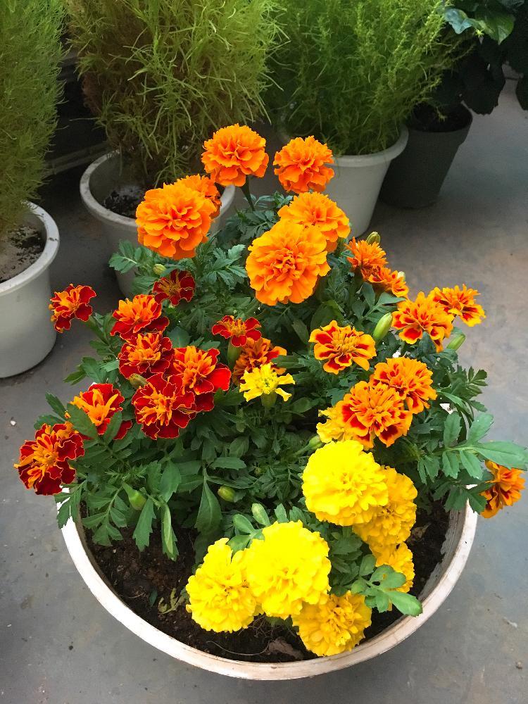 boesukeさんのバルコニー/ベランダ,マリーゴールド,寄せ植えの投稿画像