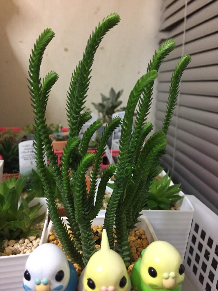 青鎖竜の投稿画像 By まめさん多肉植物とわが家の多肉スペースと植中毒