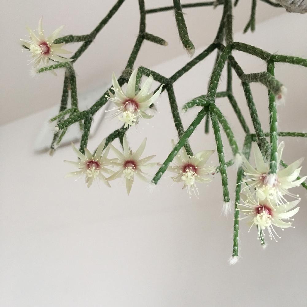 リプサリスの投稿画像 By Siroopさん リプサリス ピロカルパと多肉の花と多肉植物と鉢植え 18月1月5日 Greensnap グリーンスナップ