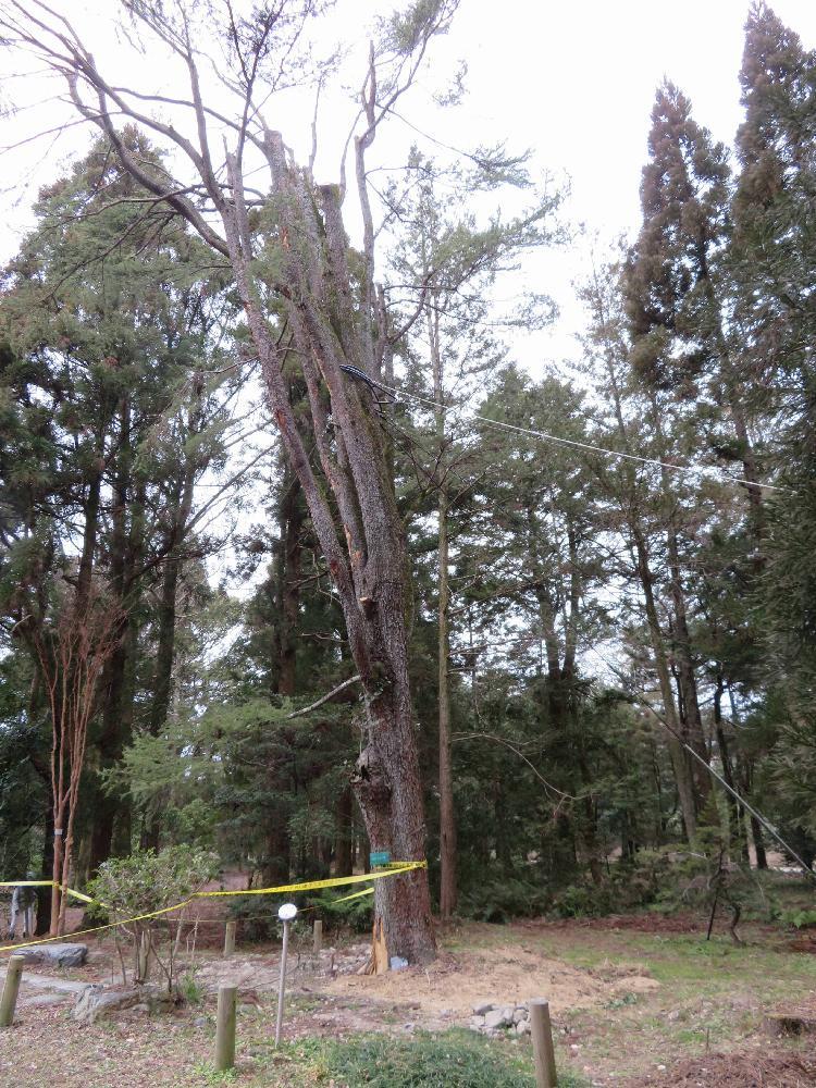 レバノン杉の投稿画像 by 花子さん|京都府立植物公園と野鳥の