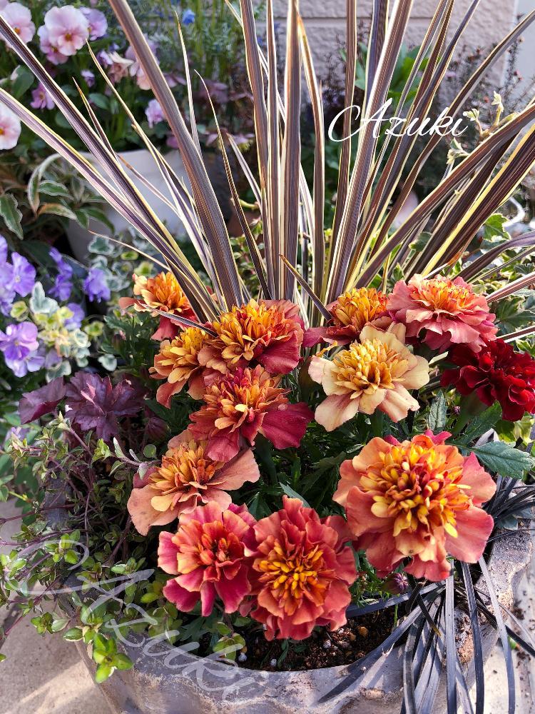 あずきさんの小さな庭,マリーゴールド,コルジリネ エレクトリックフラッシュの投稿画像