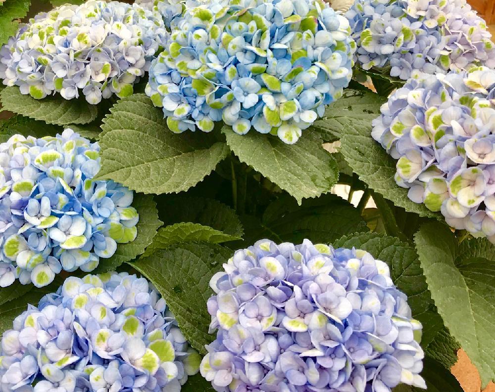 紫陽花の花の投稿画像 By あいさん6月の花と思い出の花 2018月6月14