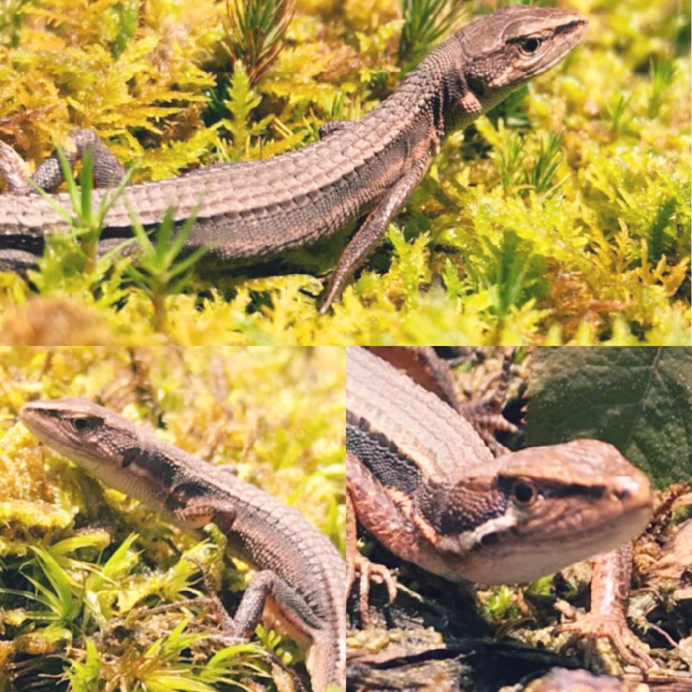 くる病 カナヘビ