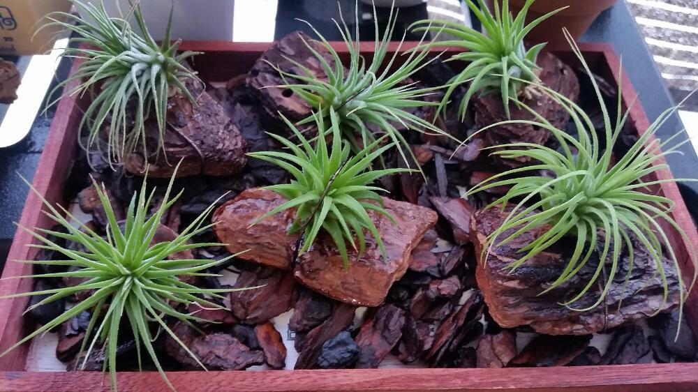 プランツ 種類 エアー エアープランツ(チランジア)の育て方…春から秋は戸外で日光に当ててしっかり水を!