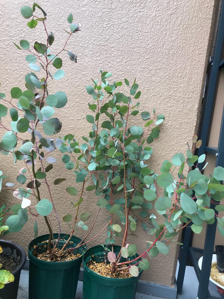 ユーカリ ポポ ラス 【楽天市場】ユーカリ 'ポポラス':おぎはら植物園