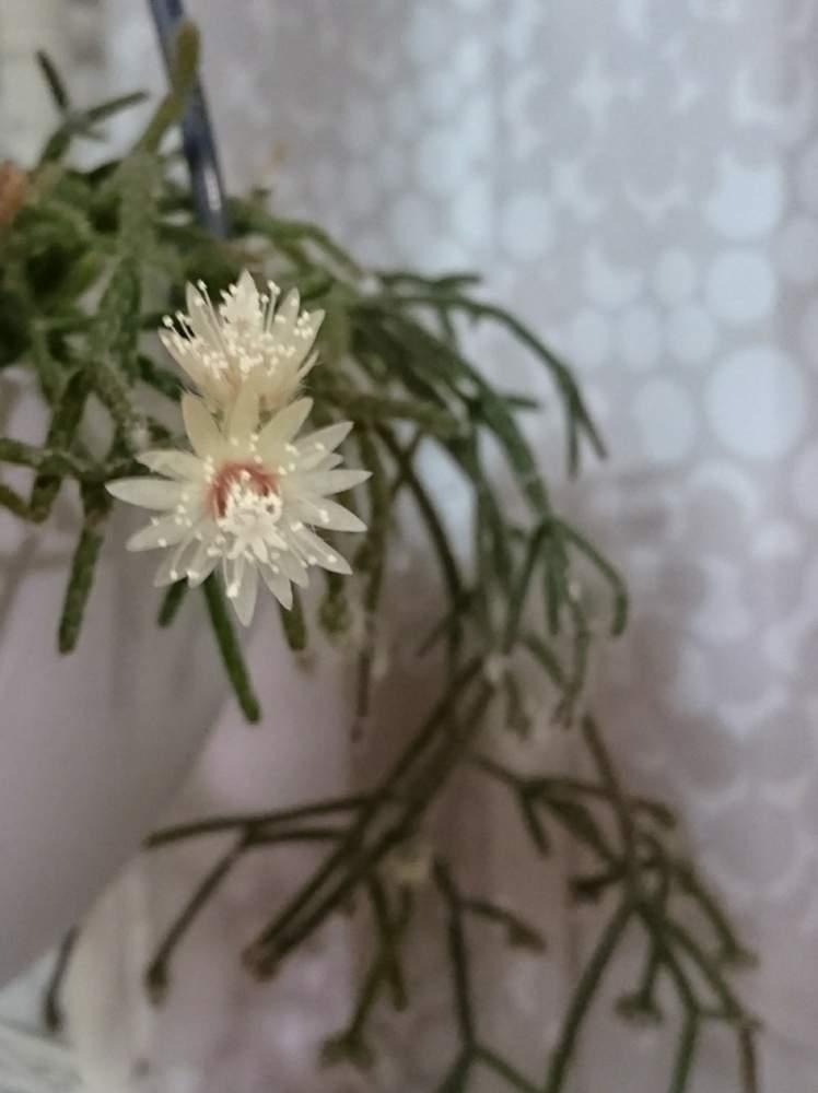 リプサリス ピロカルパの投稿画像 By くろにゃんこさん リプサリス フロストシュガーと リプサリスとリプサリス 花芽とリプサリスピロカルパとリプサリス 属とリプサリスの花とリプサリスフロストシュガーと花のある暮らし 18月12月日 Greensnap グリーン