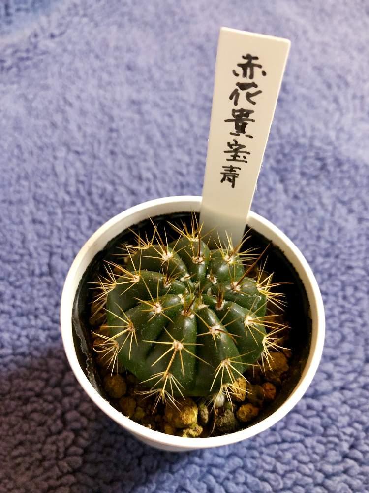 赤花貴宝青の投稿画像 By コトパクシ山さんパロディア属と植中毒と