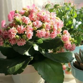 カランコエ・ステファニーの画像 by すえちゃんさん   窓辺とカランコエとカランコエ・ステファニーと多肉植物とピンクの花と窓辺の植物と短日植物と鉢植えと花のある暮らしと多肉の花と小さな花と『早春に咲いた花』フォトコンテスト