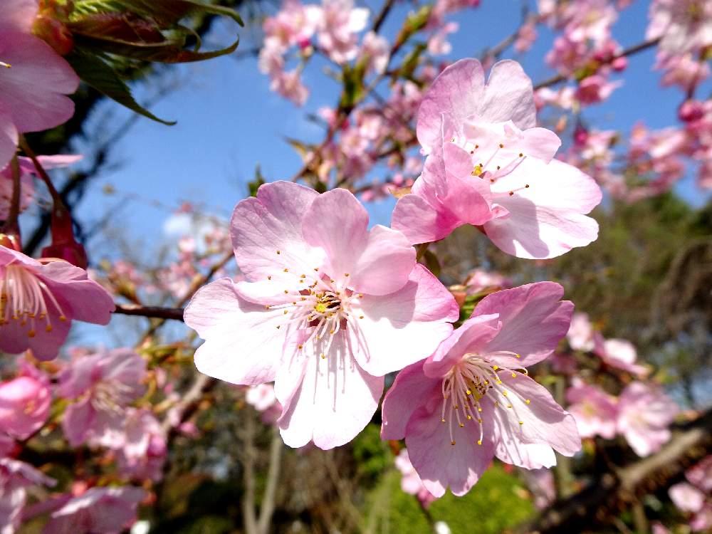 スモモ属の投稿画像 by specialさん|バラ科♡とバラ科の植物と熊本と ...