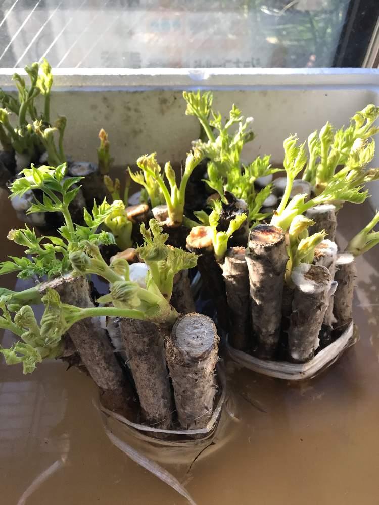 とげなしタラの芽 栽培