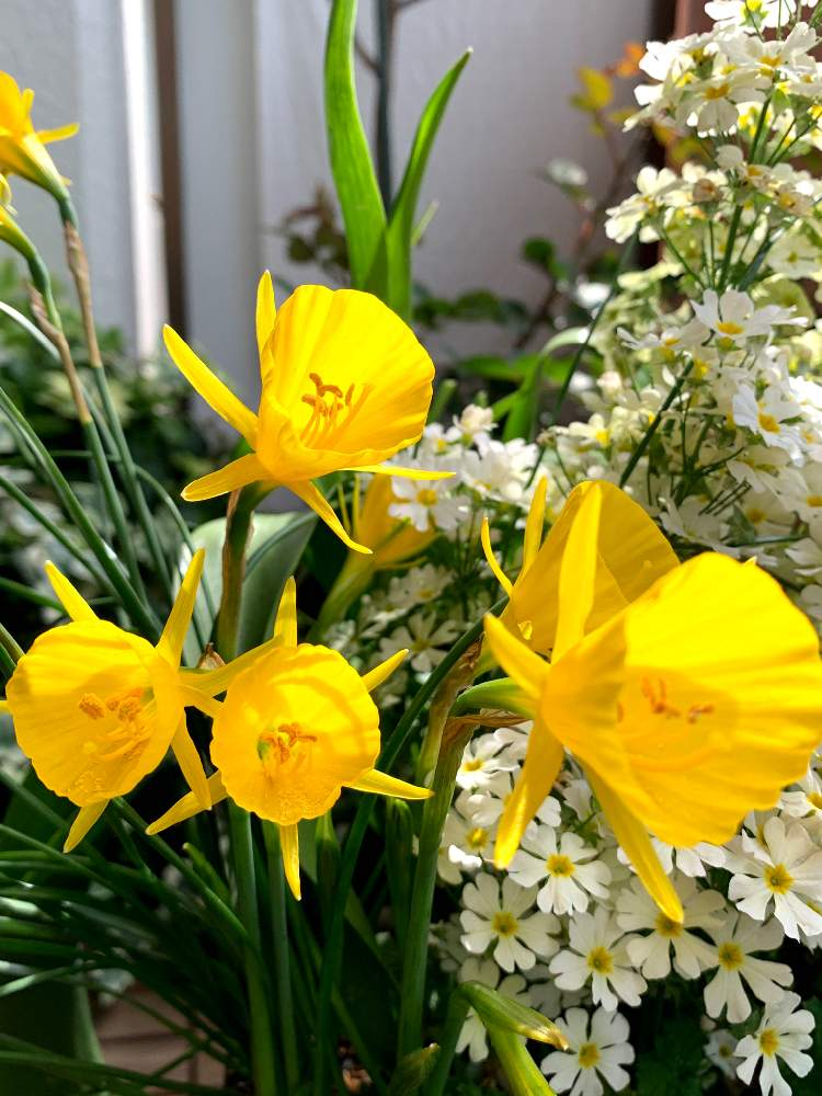 ゴールデンベルの投稿画像 by satsuki6さん|ブルボコディウムとスイセンと『秋植え球根』フォトコンテストときいろいお花  (2019月4月14日)|🍀GreenSnap(グリーンスナップ)