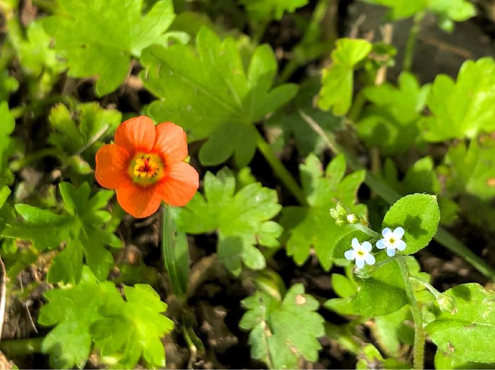 雑草 花 オレンジ の 春に空き地・河川敷で見かける、花がキレイな雑草・野草の名前は?【色別に紹介】