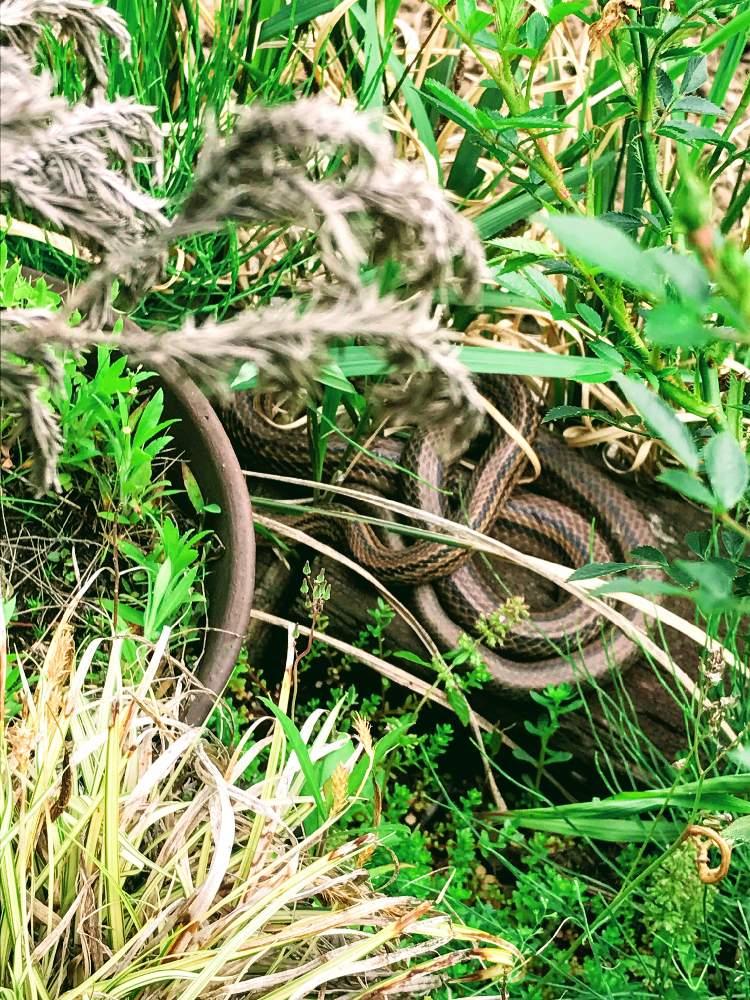 は 尻尾 どこから の 蛇