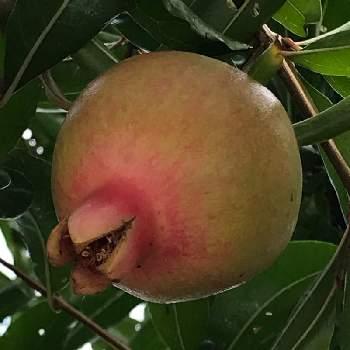 の 果実 真夏