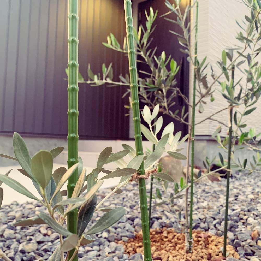 植え オリーブ 地