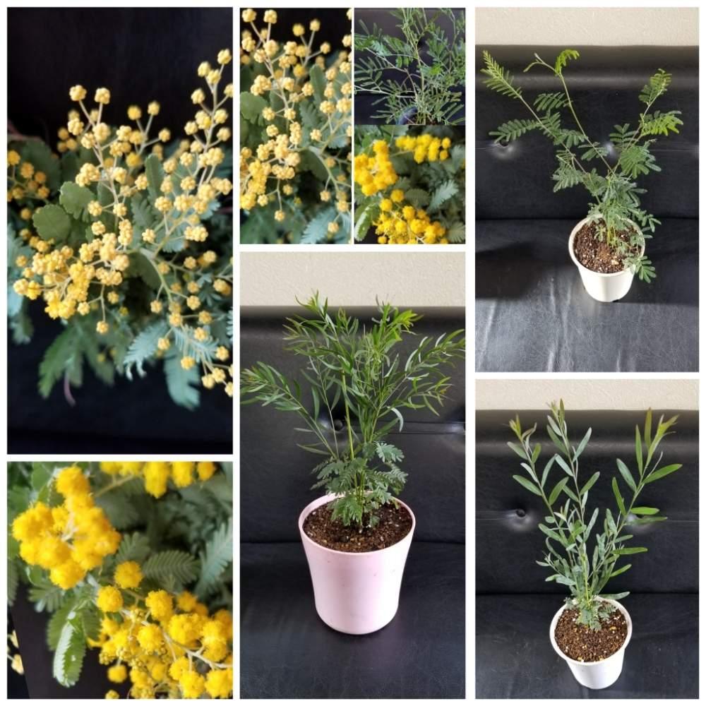 鉢植え ミモザ 庭木におすすめ!可愛らしい黄色い花を咲かせるミモザの育て方