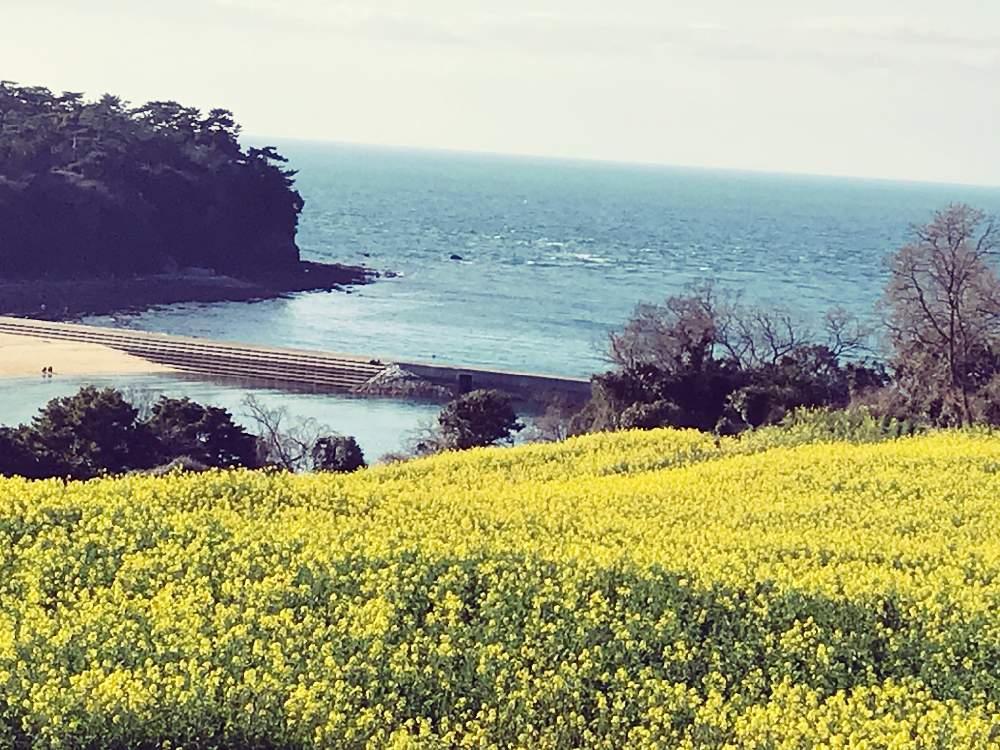 長崎鼻 菜の花 2020