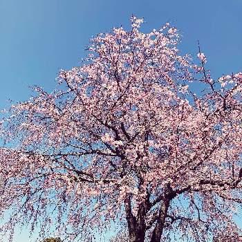 桜の木 の投稿画像一覧 Greensnap グリーンスナップ