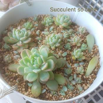 Succulent so cute ♥さんの画像
