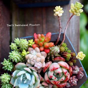 Jiei's Echeveria Collection®︎の画像