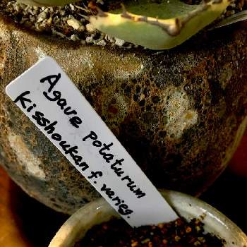 Agave potatorum 'Kisshoukan' f. varieg.の画像
