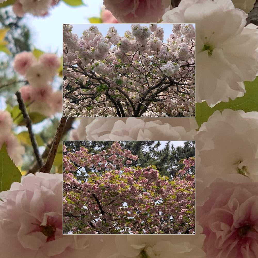 忘れ に 記憶 桜 散る た 舞い と 中