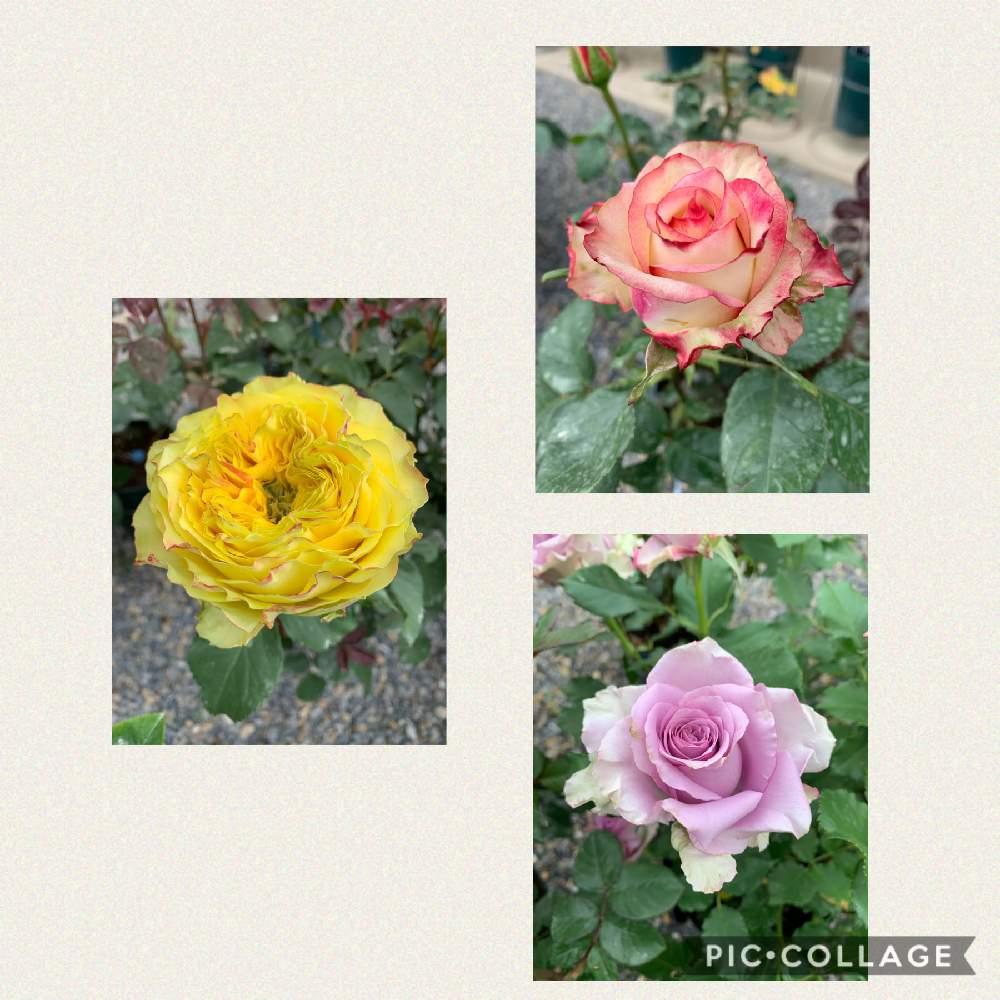ナイチンゲール と 薔薇