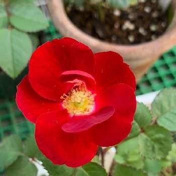 交配 薔薇