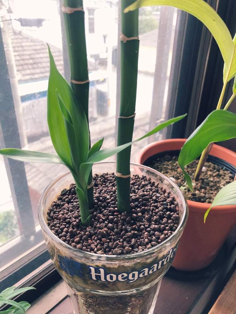 ミリオンバンブーの投稿画像 by zon_planetさん|観葉植物、窓辺と ...