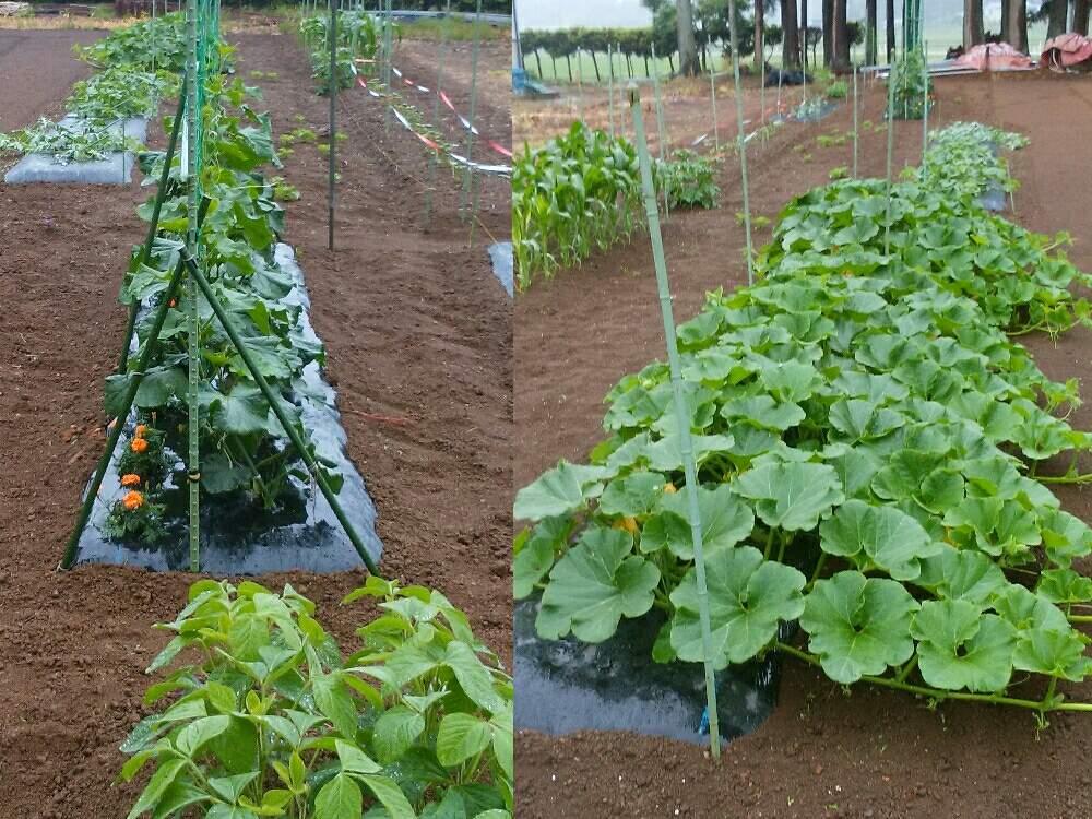 栽培 いんげん豆