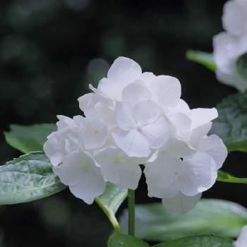 白い アジサイ 種類
