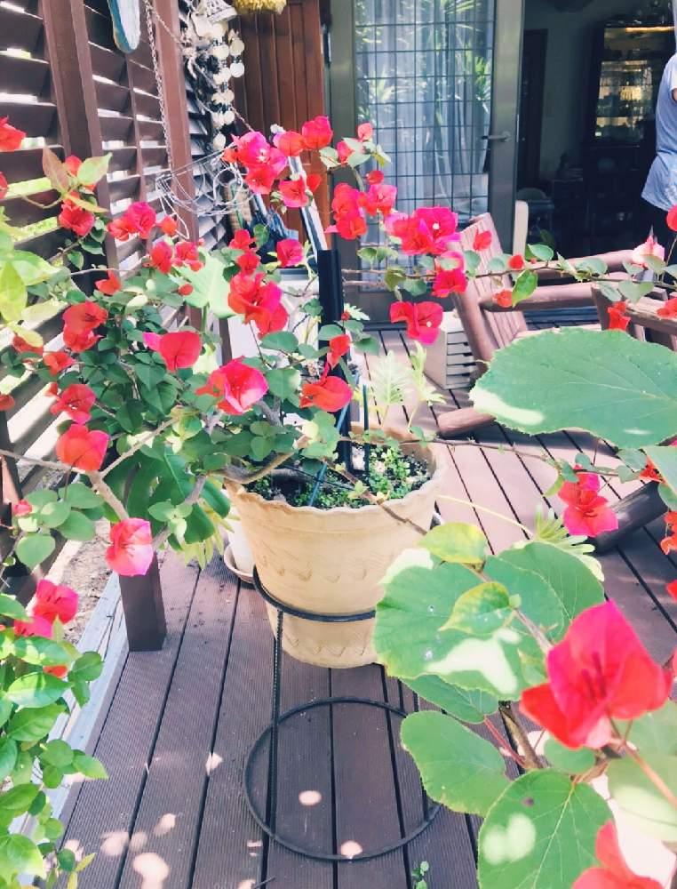 鉢植え ブーゲンビリア
