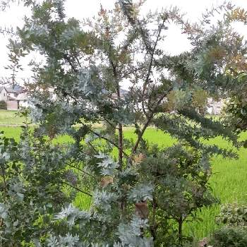 アカシア の 木 アカシアってどんな木?花言葉や種類!花や実、葉の特徴や季節も解説...