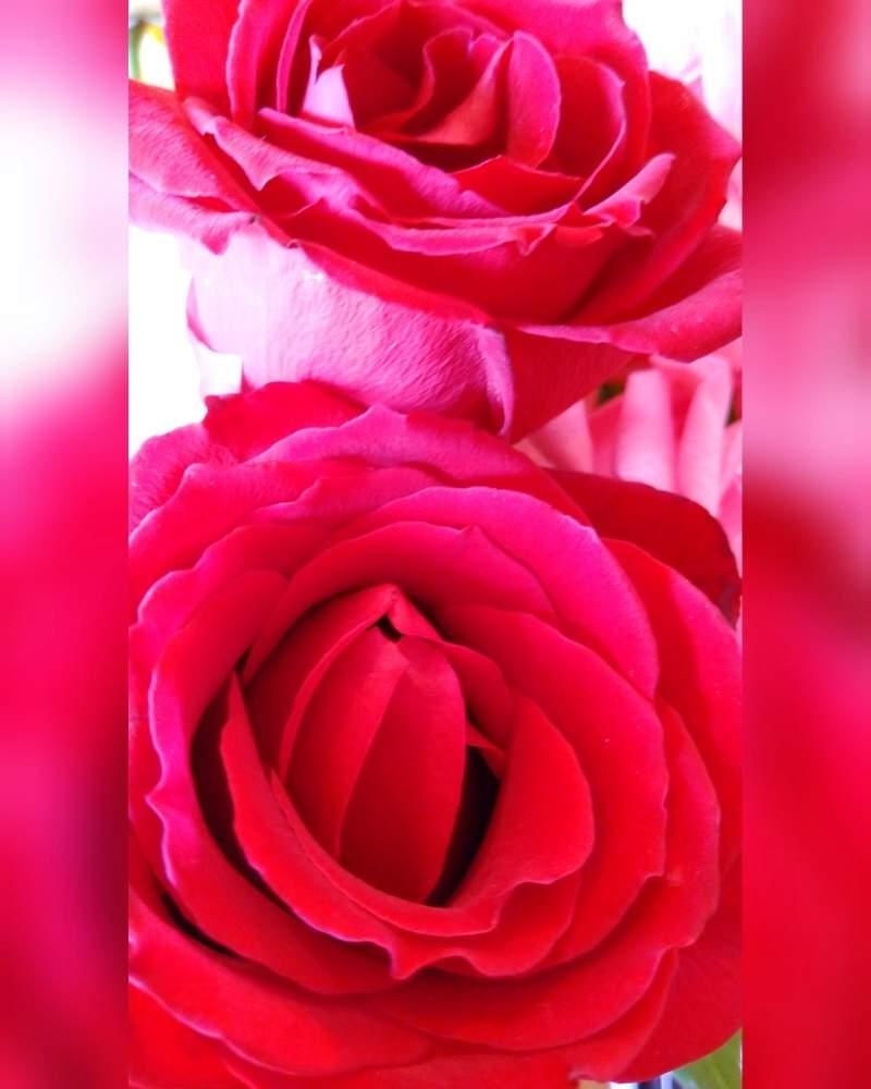 の 花 言葉 バラ