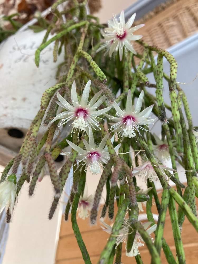 リプサリスの投稿画像 By Siroopさん リプサリス ピロカルパと多肉植物と多肉の花とお部屋と観葉植物 月12月19日 Greensnap グリーンスナップ
