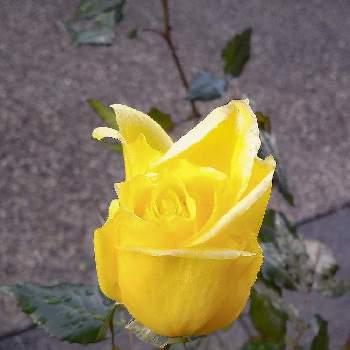 黄色い薔薇の投稿画像一覧 Greensnap グリーンスナップ
