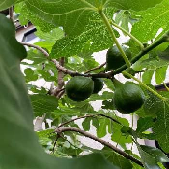 栽培 イチジク イチジクの育て方|栽培のコツ、植え付け・剪定の方法